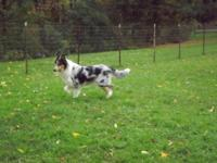 Hi, Sage is a 2 year old Rough Coat Blue Merle Tri