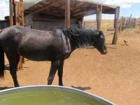 I have a two year old black stud colt for sale. He is