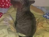 ave a 2 yr old maine coon mixed cat for sale. She