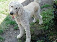 ? 2 Yr. Old Cream, Male F2B Golden Doodle * Samson is a