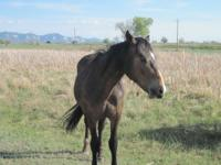 2 yr old Bay Percheron/ Quarter Horse cross gelding