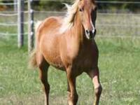 2006 Registered RMHA Gelding...14.2H...DNA'd...Awesome