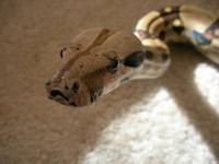 Here I have a 2007 Proven Jungle Poss Het. Albino