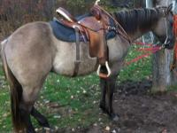 Ace, 2011 grullo stallion, cowbred with shining spark