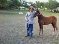 For sale is a Halter broke stud colt. He foaled in