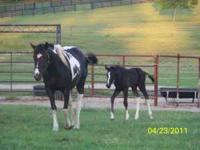 Beautiful 2011 Black/White Tobiano Filly, born