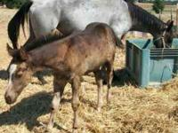 May roan out 'she is out of a big blue roan mare ' by