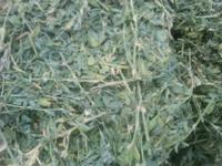 Fresh cut....2012 Colorado Alfalfa Horse Quality...