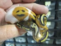 Collection of ball pythons available.(albino and
