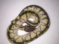 I am selling this years baby ball pythons. They have