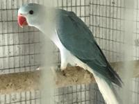 For sale two young blue cleartail born in January 2018.