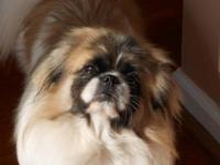 AKC/CKC 21 month old male pekingese. He would make a