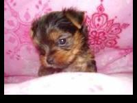 Adorable Micro Teacup size Yorkie Puppies available, a