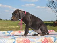 25% Euro Great Dane Puppies for Sale. Born on 08-14-15