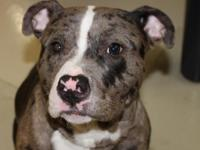 Clark is a goofy 1 year old male American Bully. Clark