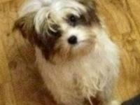 I have a stunning white and gold Parti Yorkie male For