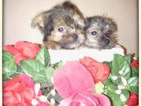 I have 2 adorable female Yorkies looking for there