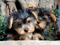 2 pure breed tea cup  yorkie puppies ready to be a huge