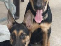 2 very handsome males, 3 1/2 months old. Sire and Dam