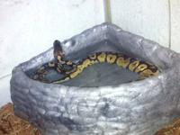 I am selling 2 ball pythons as a pair for $230. I have