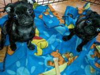 2 Brindle AKC female pugs that I would LOVE to offer