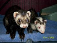 Description 2 Ferrets for sale (male & female). Must
