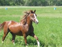 I have 2 kid safe horses for sale. The first horse is