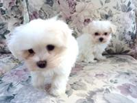 2 Male CKC Maltese Puppies - 8 Weeks Old Ready to