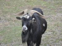 These 2 billy goats are 150$ apiece. The are wonderful