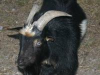 2 Male, Nigerian Dwarf Pygmy Goats for sale. PROVEN