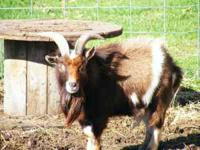 We have two male pygmy goats in need of a new home. We