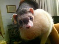 I have two male ferrets that need a new home. They are