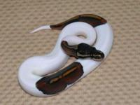 2 Pied ball pythons,Male and Female available and ready
