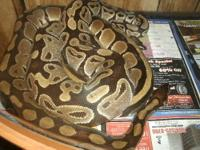 BALL PYTHONS BOTH APPROX 8 + YRS OLD FEMALE IS GRAVID (