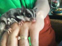 I have 2 sugar gliders for sale. They are a male and
