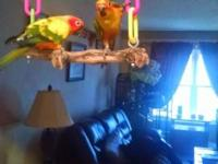 2 Sun Conures 1 is 10 mos. (8-25-2014) male & the other