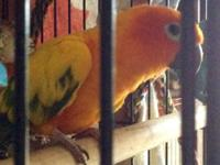 We have a beautiful 2 year old baby sun conure very