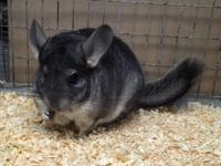 We have a 2 year old standard grey female chinchilla