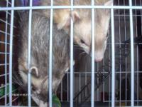 I am selling a pair of ferrets- they are both male,