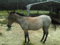 ? 2 year old bay qtr horse colt, beautiful light bay,