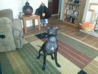 2 beautiful black and white American Pitbull Terrier