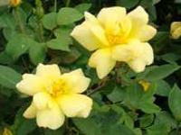 Hardy Carefree Knockout Roses $12 each. (3 COLORS) BUY