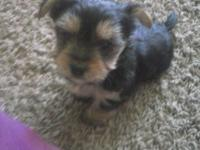My friend has two little morkies left that need homes.
