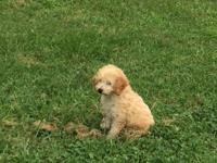 Female apricot poodle. Akc. All papers. Shots. Kennel