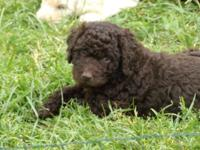 Puppies due Sept 3 taking deposits, most will be choc