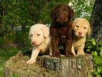 New 2nd Generation Labradoodle puppies due at