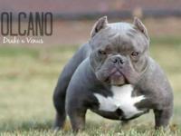 908 bullies VOLCANO ( drake & Venus ) bred to balboas