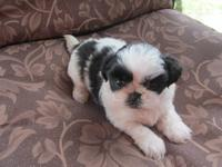 Monkey is a 2 year old liver and white male shih Tzu,