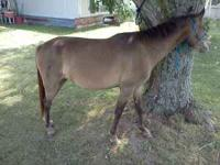 2 yr old 44 in grulla Pony filly. Very gentle! Easy