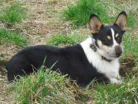 We have a 1/2 Corgi 1/2 Border Collie who was bred to